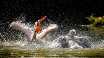 Фото бесплатно пеликаны, птицы, животные