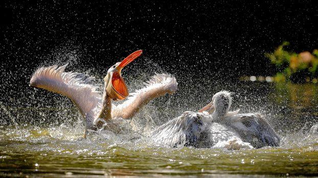 Бесплатные фото пеликаны,птицы,животные