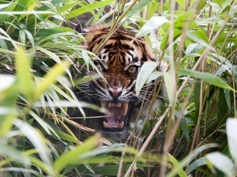 Тигр рычит из кустов · бесплатное фото