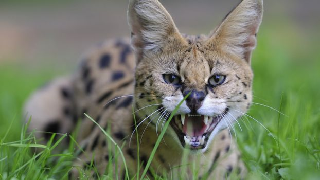 Photo free African, Serval, cat