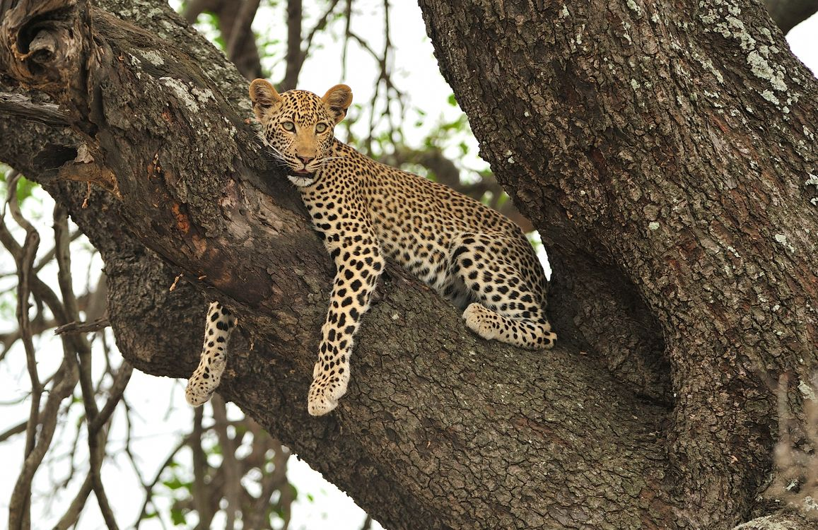 Free photo Leopard in tree, cloudy day, relaxing on tree branches - to desktop