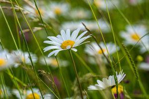 Бесплатные фото поле,ромашки,растения,природа,цветы,флора,макро