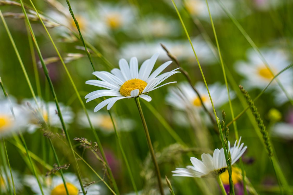 Фото бесплатно поле, ромашки, растения, природа, цветы, флора, макро, цветы