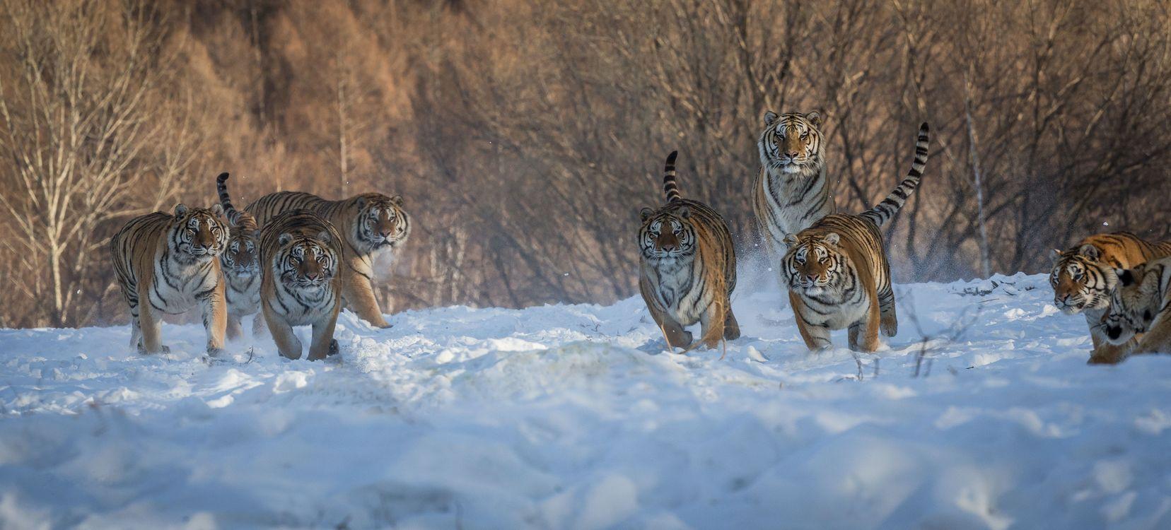 Фото бесплатно тигр, хищник, животное, тигры, животные, хищники, панорама, животные