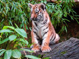 Фото бесплатно животный мир, тигр, молодое животное