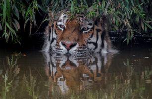 Заставки животное, Amur tiger, большая кошка