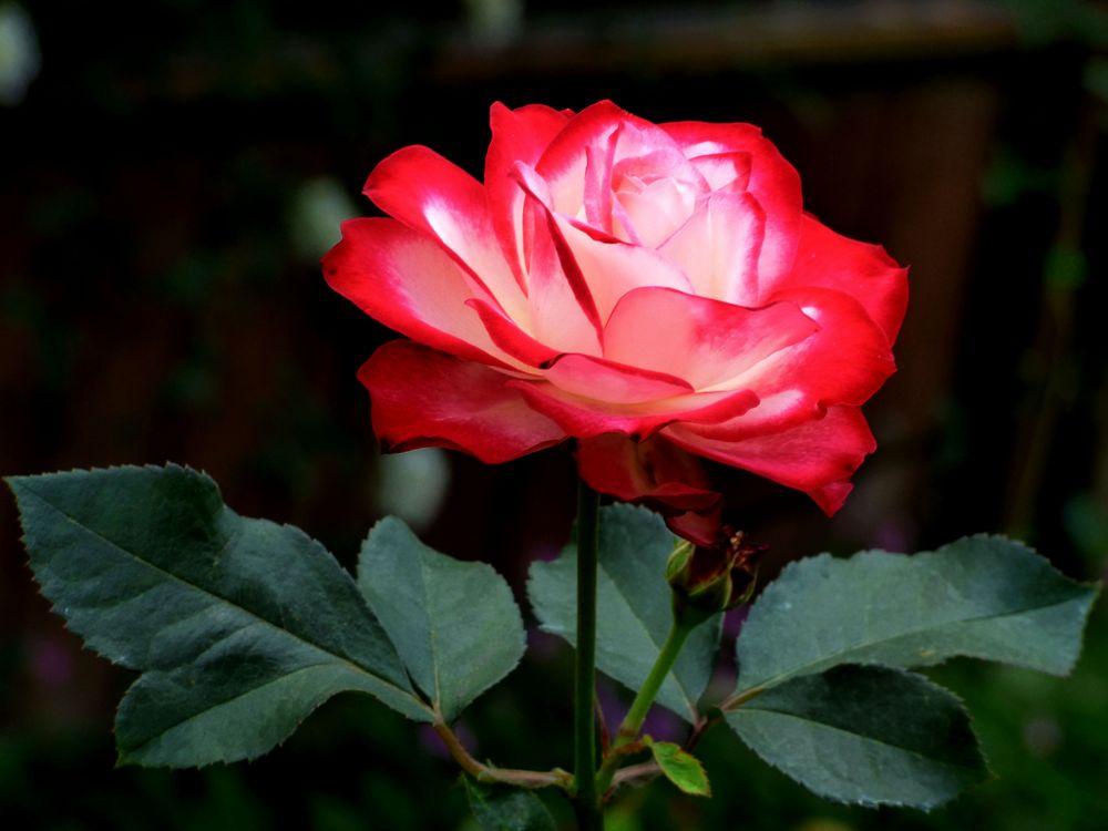 мере ухудшения розы фото для телефона гепатоциты органа