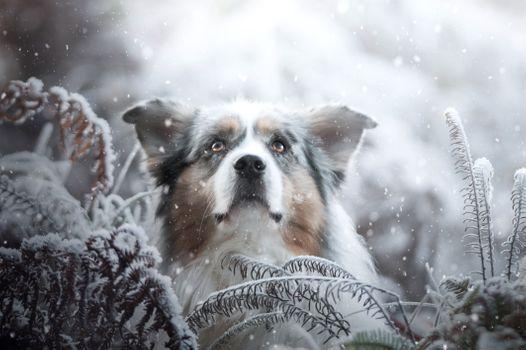 Photo free pet, Australian Shepherd, Aussies