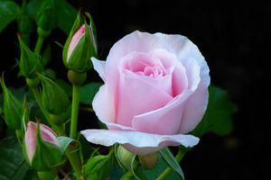 Роза любви