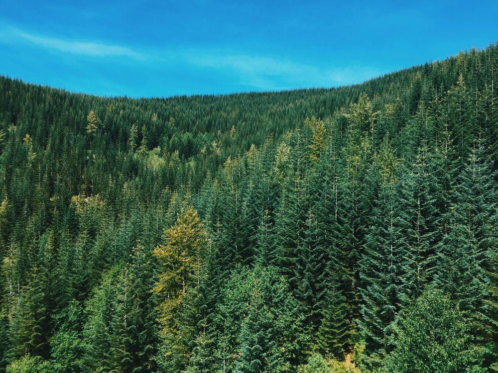 Фото стареющий лес лиственница дерево - бесплатные картинки на Fonwall