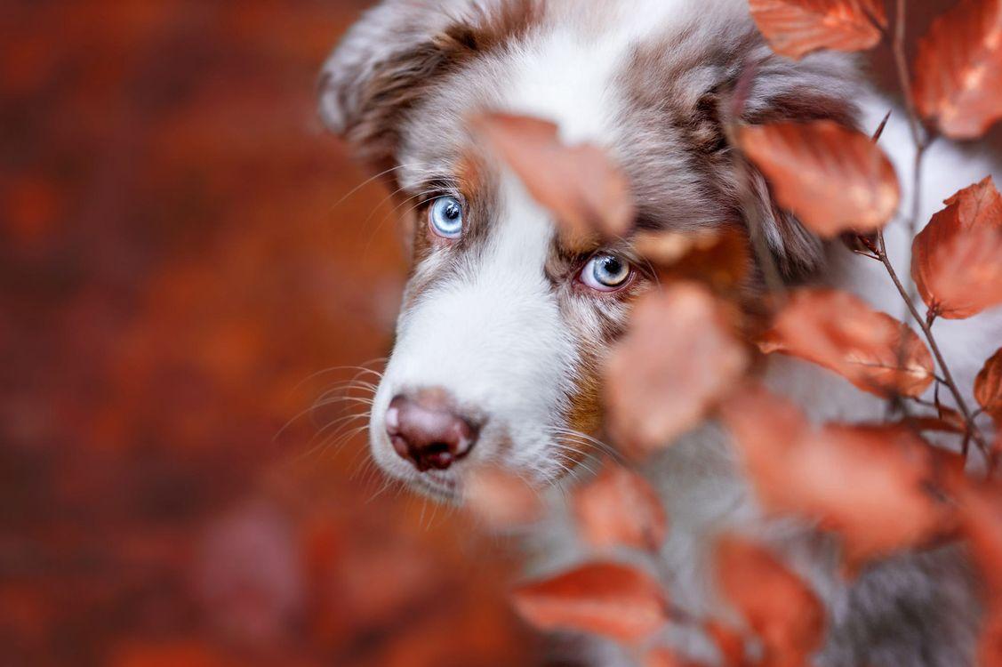 Портрет голубоглазой аусси · бесплатное фото