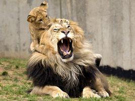 Заставки игривый львенок, лев, кусает