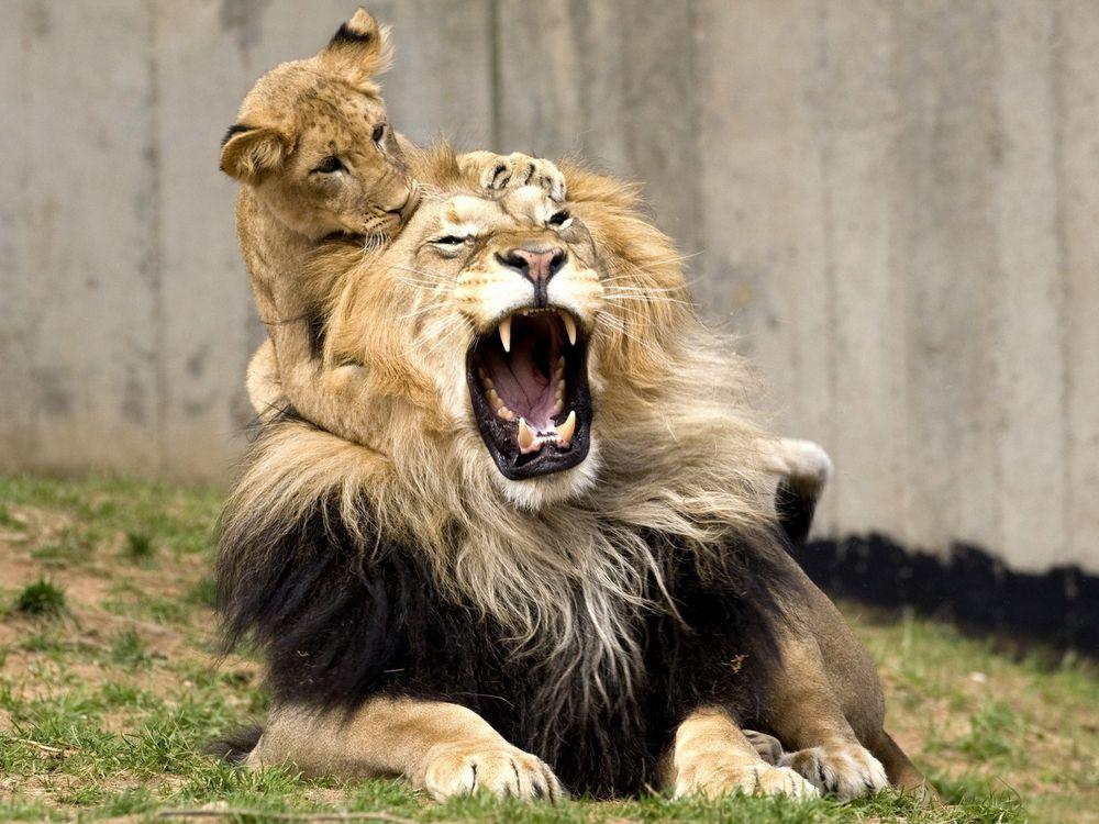 Free photo playful lion cub, lion, bites, pain, hurt, lions, dad - to desktop