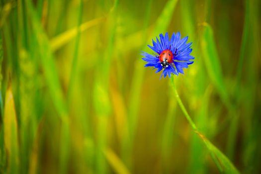 Фото бесплатно цветок, божья коровка, василёк