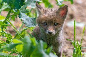 Фото бесплатно Рыжая лиса, хищное животное, хищник