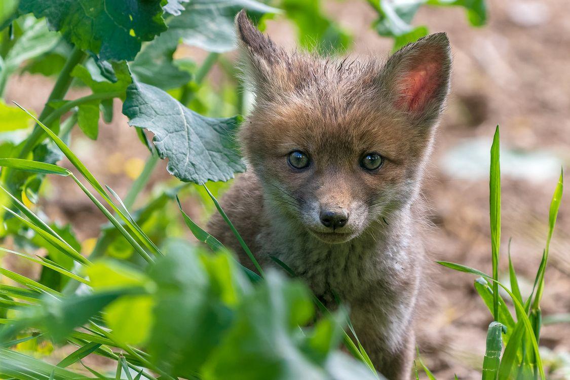 Фото бесплатно Рыжая лиса, хищное животное, хищник - на рабочий стол