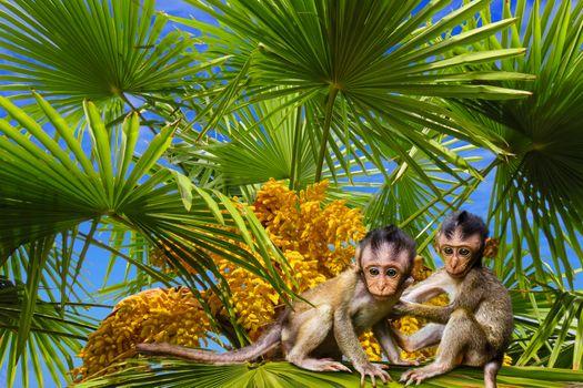 Бесплатные фото palm,мартышки,дерево,тропический,лето,лист,пальмовых листьев,семена,пальмы семена,обезьяна,приматов,внимание