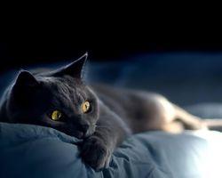 Бесплатные фото Russian,Blue,Cat,русская голубая,кошка,5:4