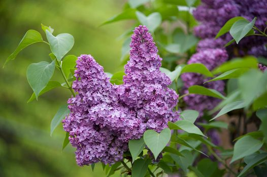 Photo free lilac, flowers, bloom