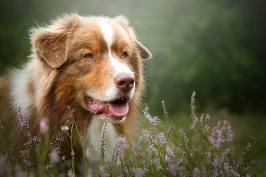 Photo free photograph, Australian Shepherd, pet