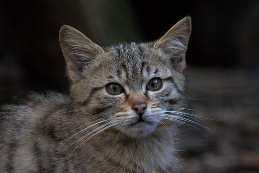 Фото бесплатно Молодая европейская дикая кошка, морда, взгляд
