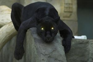Photo free Panther, view, eye