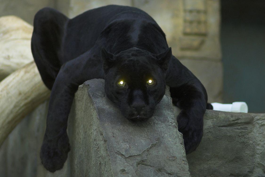 Фото бесплатно пантера, взгляд, глаза - на рабочий стол