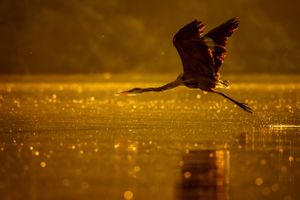 Цапля летящая над водой · бесплатное фото