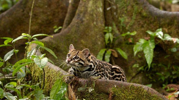Photo free Ocelot, Amazon, Rainforest