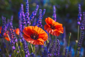 Photo free poppies, field, macro