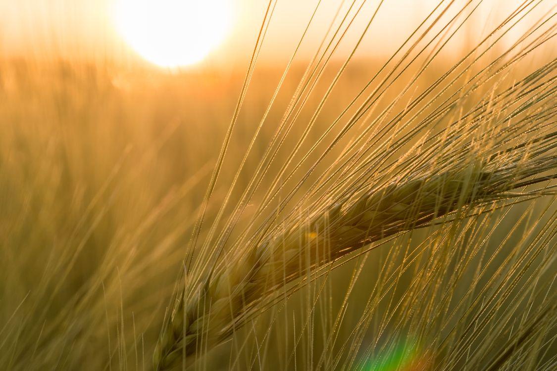Фото бесплатно трава, горизонт, растение, небо, солнце, закат солнца, поле, ячмень, пшеница, прерия, солнечный лучик, утро, лето, пища, золотистый, урожай, макрос, ухо, сельское хозяйство, закрыть, зерновой, крупным планом, рожь, abendstimmung, задний фонарь, макросъемка, золотисто-желтый, цветущее растение, товар, ячменное поле, орда, трава семьи, наземный завод, продовольственное зерно, природа - скачать на рабочий стол