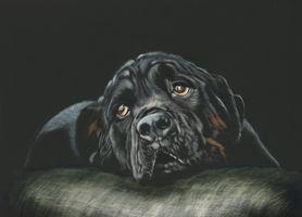 Фото бесплатно rottweiler, собака, морда, взгляд, чёрный фон, art