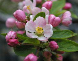 Фото бесплатно весна, яблоня, цветок