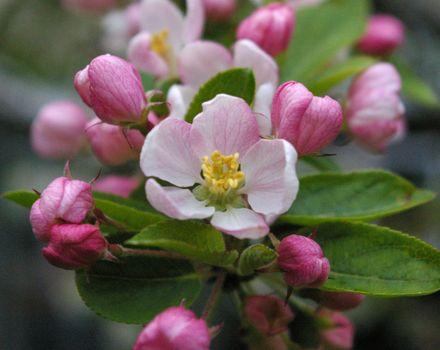 Photo free spring, Apple, flower