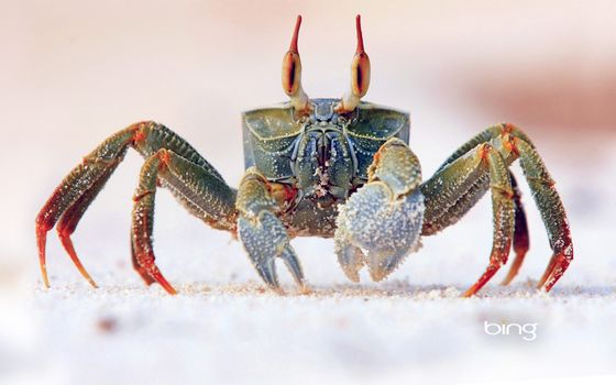Photo free crab, Bing, nature
