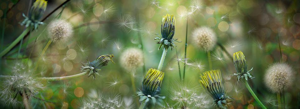Фото бесплатно флора, панорама, одуванчик