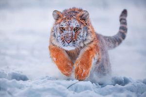 Бесплатные фото зима,снег,тигр,хищник,прыжок