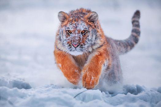 Фото бесплатно хищник, снег, зима