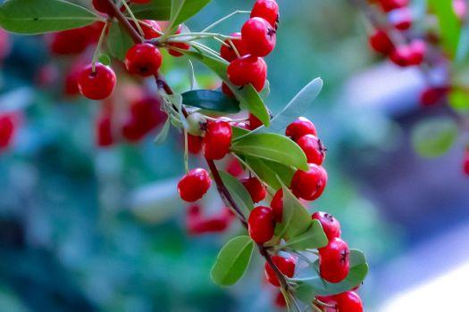 Photo free Pyracantha, perennial evergreen shrub with long spike, fiery spike