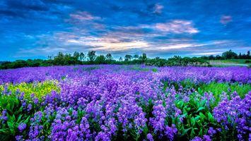 Фото бесплатно природа, закат, лаванда