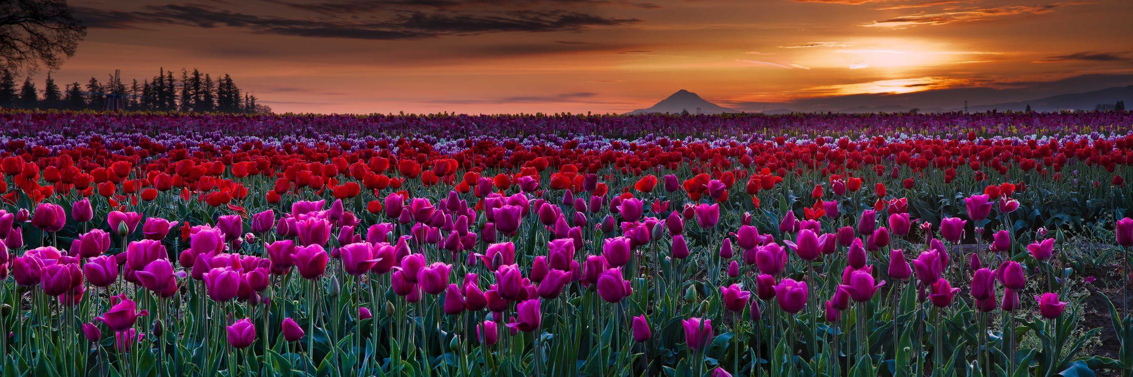 Фото бесплатно поле тюльпанов, закат солнца, поле, тюльпаны, цветы, флора, пейзаж, панорама, цветы