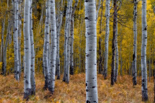 Aspen Forest in autumn · free photo