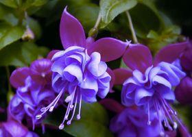 Фото бесплатно грациозная, изящная, Fuchsia gracilis