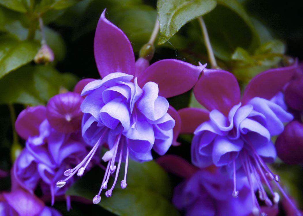 Фото бесплатно грациозная, изящная, Fuchsia gracilis - на рабочий стол