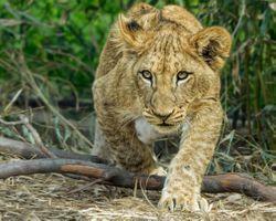 Бесплатные фото львёнок,хищник,животное