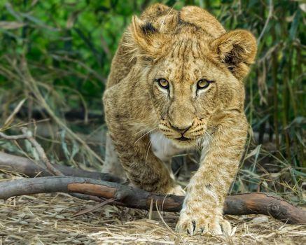 Фото бесплатно львёнок, хищник, животное