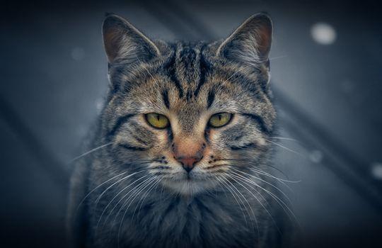 Photo free cat, Koshak, snout