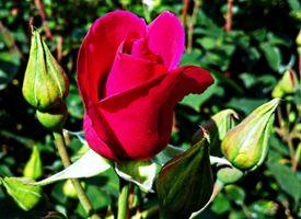 Фото розы крупным планом красная роза