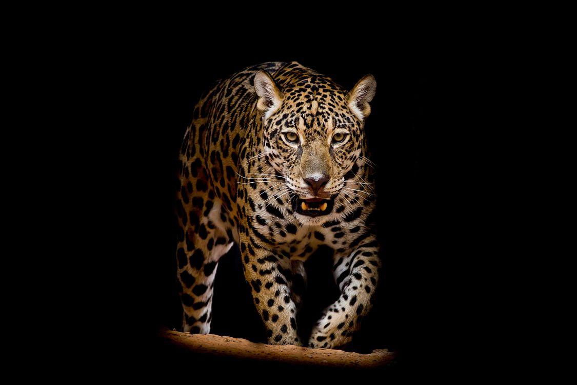 Фото скачать портрет леопард, животное