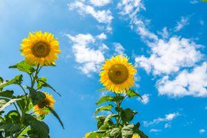 Фото бесплатно небо, подсолнухи, подсолнух